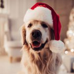 Cheerful dog labrador is sitting in Santa Claus hat HD Background Image